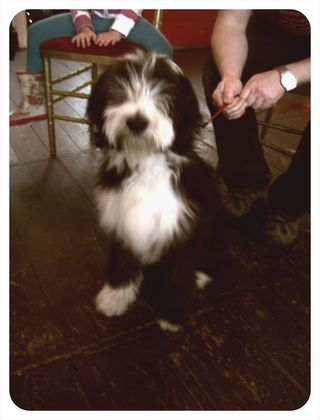 Mindy Bearded Collie