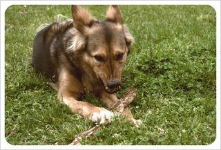 Dog guarding stick