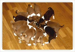 Puppies eating from same bowl