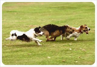 Terriers running