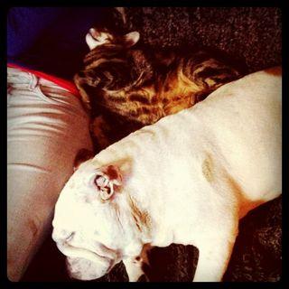 English Bulldog sleeping with cat