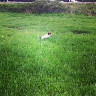Puppy the Jack Russell running and jumping
