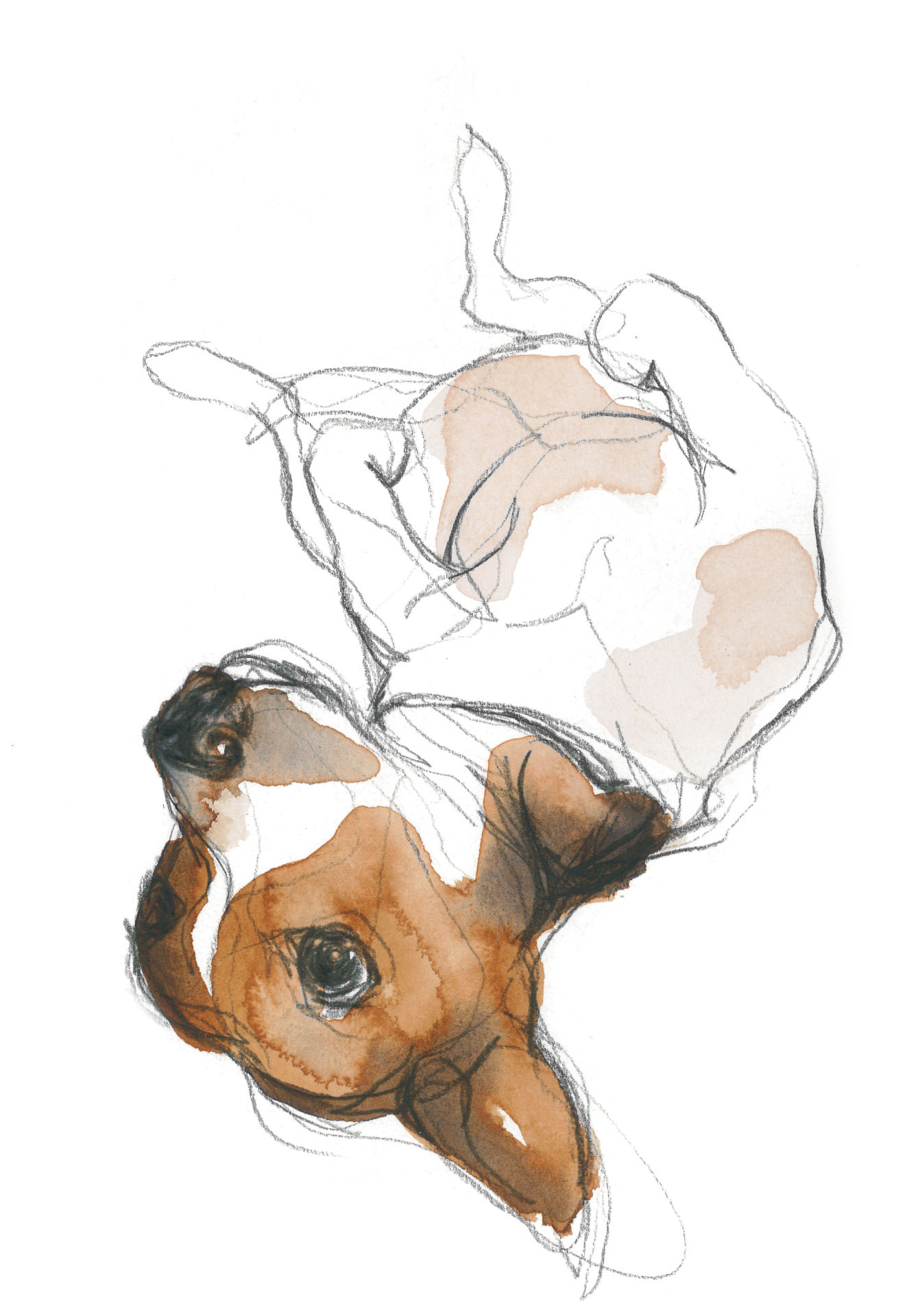 Lying Down: Sport Accident Illustration A Dog Profile By Ellis Amburn How  To Draw Horses